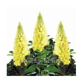Vlčí bob (Lupinus Polyphyllus)-žlutá