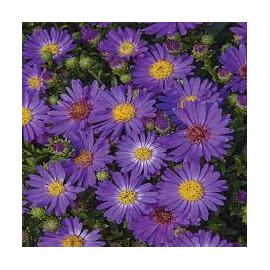 Aster novi-belgii-purpurová
