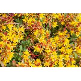 Sedum florif. Golden Yellow- rozchodník