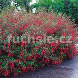 Electra Regia Red Fuchsie (Fuchsie)