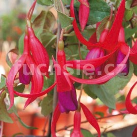 Red Spider Fuchsie (Reiter USA  1949)