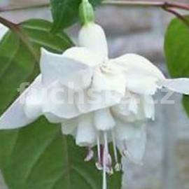 White Garole (Fuchsie)