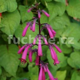 Kapská, vínová(Phygelium) (fuchsie)