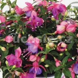 Fuchsini Double Rose-Blue