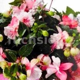 Fuchsini Double Pink-White