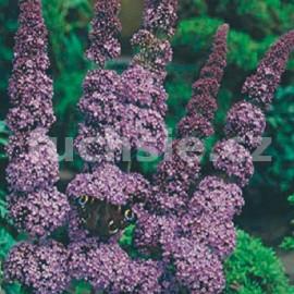 Buddleja Dav. Orchid Beauty