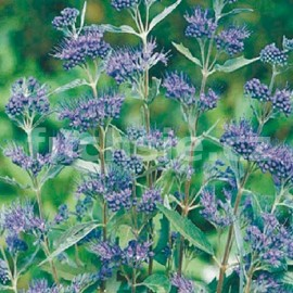 Ořechokřídlec (Caryopteris Cl. Heavenly Blue)