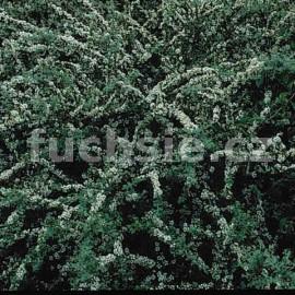 Cotoneaster Conspicuus (skalník)