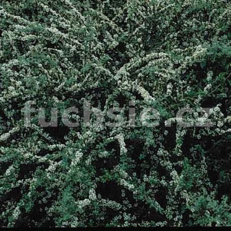 Cotoneaster Congestus (skalník)