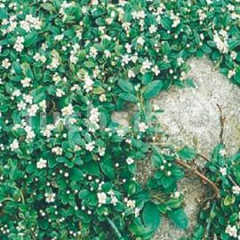 Cotoneaster Dammeri Maj (skalník)