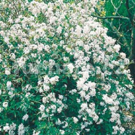 Trojpuk (Deutzia Gracilis Nikko)