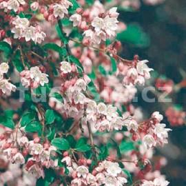 Trojpuk (Deutzia Purp. Kalmiflora)