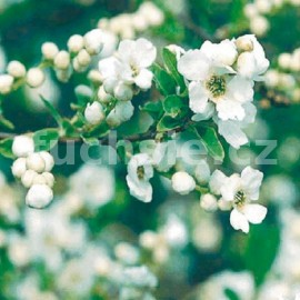 Hroznovec (Exochorda Macr. The Bride)