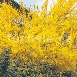 Zlatice (Forsythia Int. Lynwood)