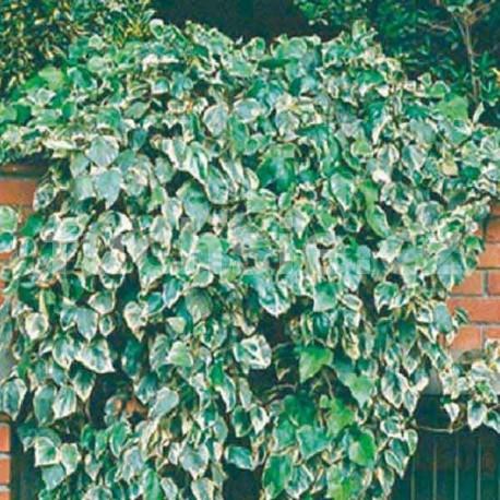 Břečťan (Hedera Alg. Glorie De Marengo)