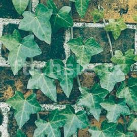 Břečťan obecný (Hedera Helix)
