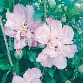Ibišek (Hibiscus Syr. Ardens)
