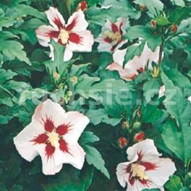 Ibišek (Hibiscus Syr. Hamabo)