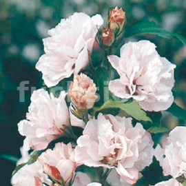 Ibišek (Hibiscus Syr. Leopold III)