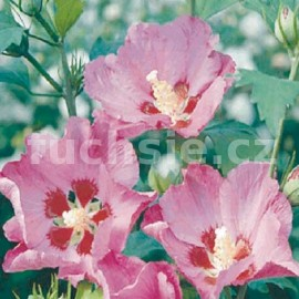 Ibišek (Hibiscus Syr. Pink Giant)