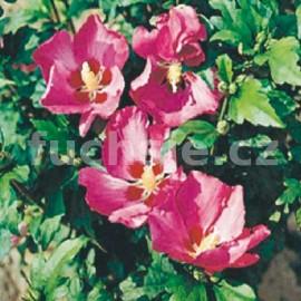 Hibiscus Syr. Woodbridge Ibišek