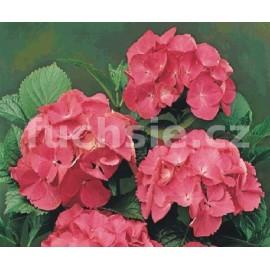 Hydrengea Macr.Bouquet Rose