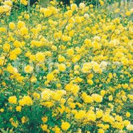 Zákula (Kerria Japonica)