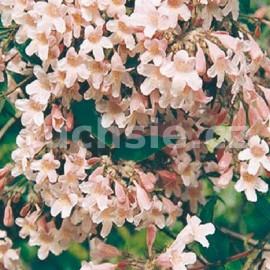 Kolkvicie (Kolkwitzia Amabilis)