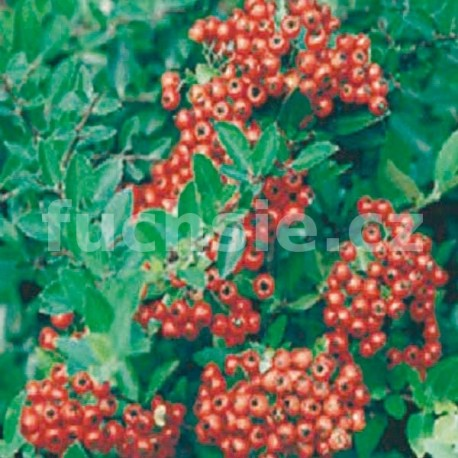 Hlohyně  (Pyracantha Cocc. Red Column)