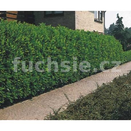 Prunus Laur. Caucasica