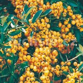 Hlohyně  (Pyracantha Golden Charmer)
