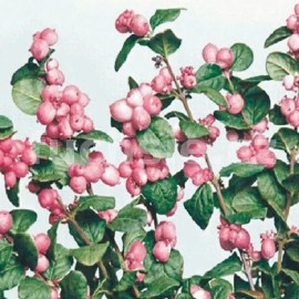Pámelník (Symphoricarpos D. Magic Berry)