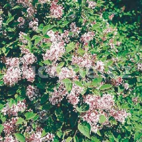 Šeřík (Syringa Microphylla Superba)