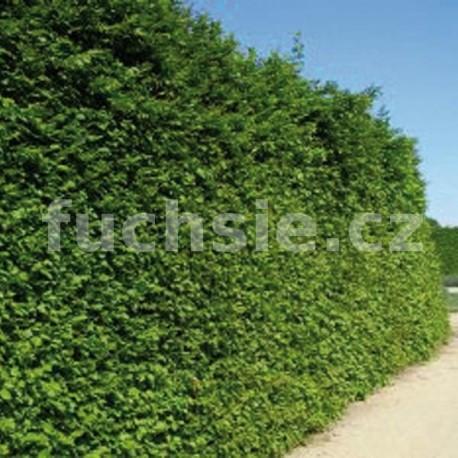 Habr obecný (Carpinus Betulus)