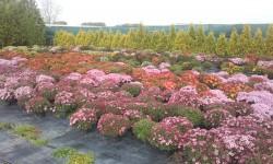 Chryzantémy za skvělou cenu