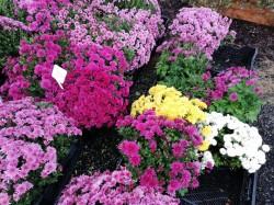 Krásné chryzantémy za skvělé ceny